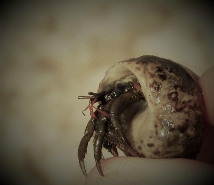 st-pirans-crab-2