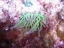 Anemone in a Cornish rock pool.