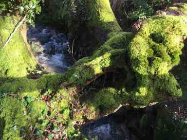 Lovely mossy trees.