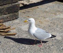 The ubiquitous gull
