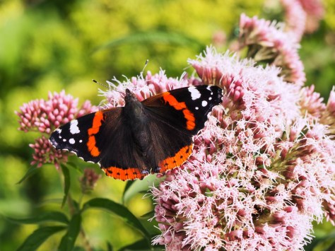Red Admiral on Spirea Japonica