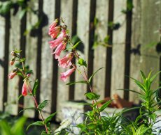 Coral bell Penstemon