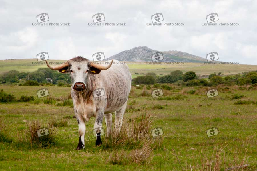 Longhorn Bull On Bodmin Moor With RoughTor In Background in Cornwall