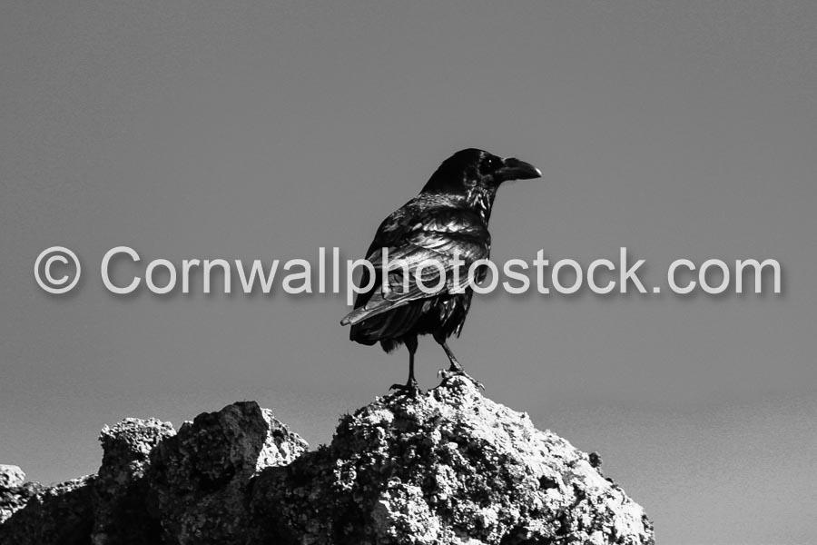 Raven On A Rock