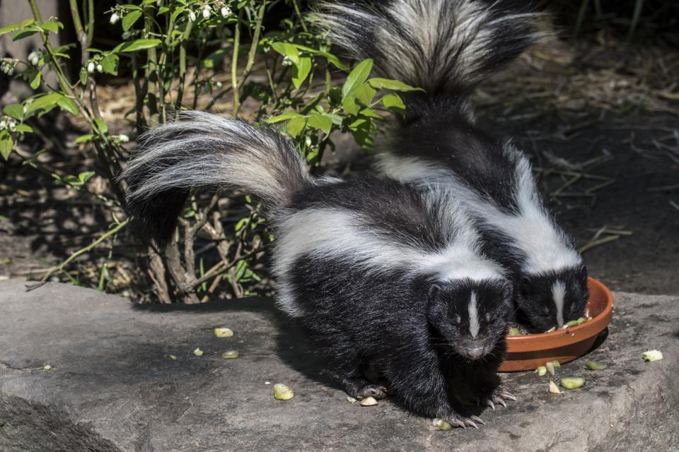 Two skunks eating cat food (Photo by: Philippe Clement/Arterra/Universal Images Group via Getty Images)