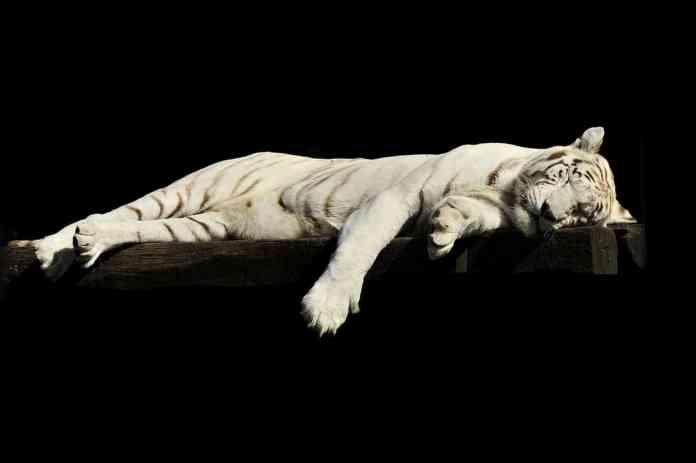 Tigre qui dort
