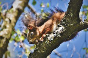 Écureuil qui surveille