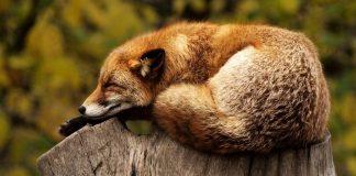 Repos du renard