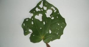 kawakawa leaf holes