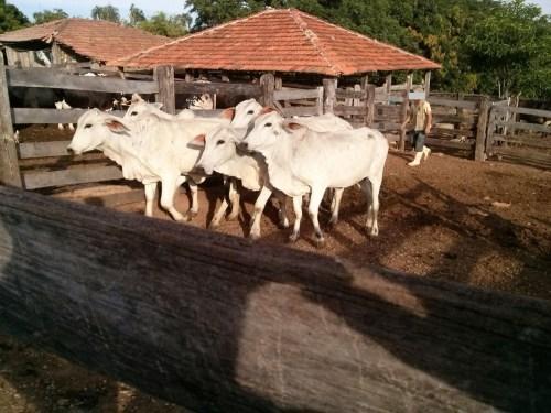 Polícia Civil recupera gado furtado