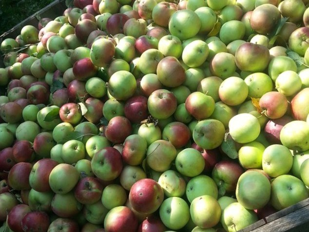 "Agricoltura: al via raccolta mele, la ""qualita' sara' buona"""