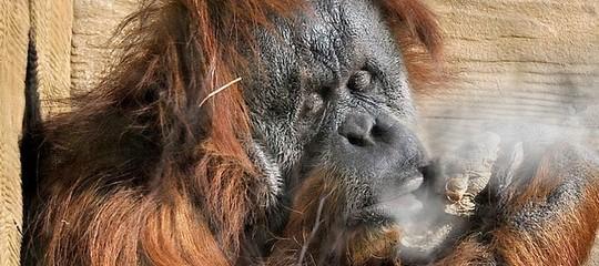 orangotango drogato in valigia