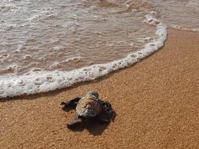Caretta caretta, 82 tartarughe nate sulla spiaggia di Selinunte