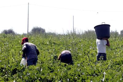 Navigator cercano lavoratori per raccolta pomodori