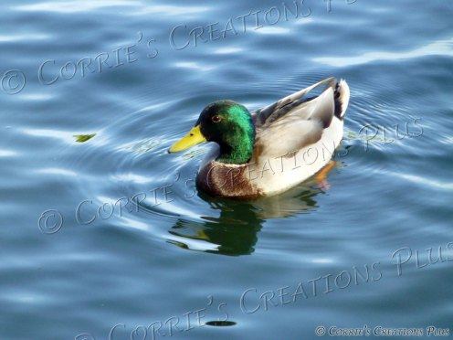 Drake mallard swimming in a lake in Tucson