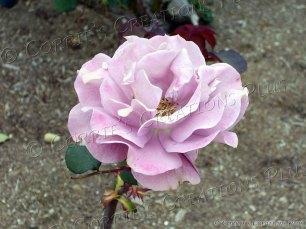 Lavendar rose