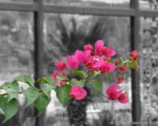 Bougainvillea with a reflective view in Tucson
