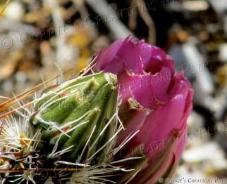 Cactus in bloom in Tucson