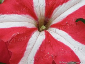 An upclose shot of a red-and-white petunia