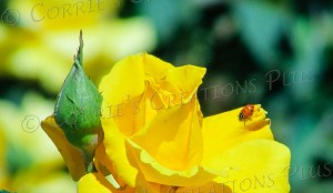 A ladybug basks in Tucson's springtime sun atop a yellow rose.