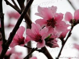 Peach-tree blossoms