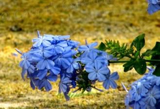 A plumbago flower graces the landscape in Tucson.