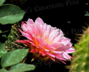Pink cactus blossom