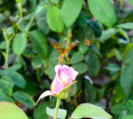 Taken at the Rose Garden in Reid Park in Tucson