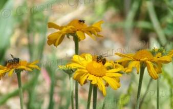 Three honeybees pollinate on yellow flowers at Ski Valley, Mt. Lemmon, Arizona.