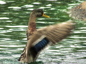 A mallard dances on the water at a local pond in Tucson.