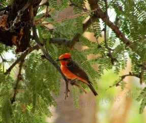 A vermillion flycatcher at Agua Caliente Park in Tucson