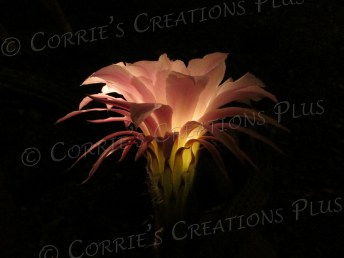 A single pink, night-blooming cereus cactus is illuminated against the night in Tucson.