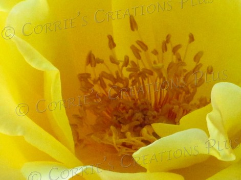 "A ""macro"" shot of a yellow rose"