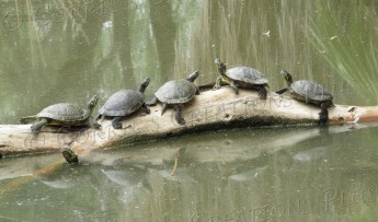 Five red-eared slider turtles bask in the sun at Agua Caliente Park in Tucson.
