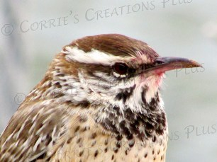 This cactus wren just finished a meal–notice the red/pink area.