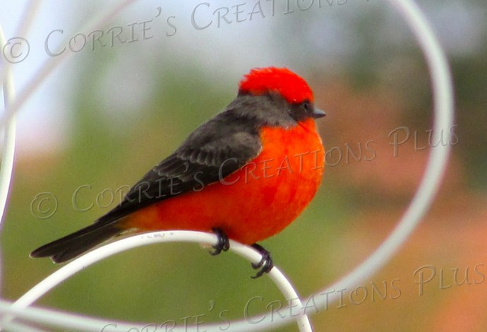 A beautiful vermillion flycatcher basks in the Tucson sun on a white trellis.