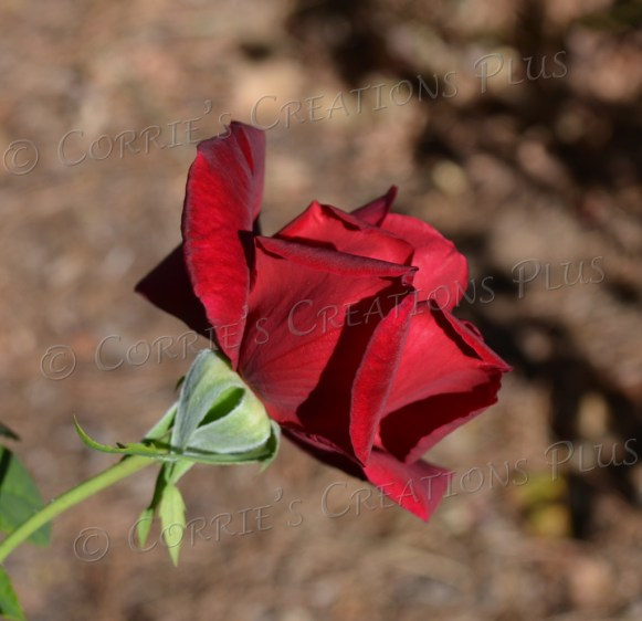 A deep-red rose enhances the campus at the University of Arizona in Tucson.