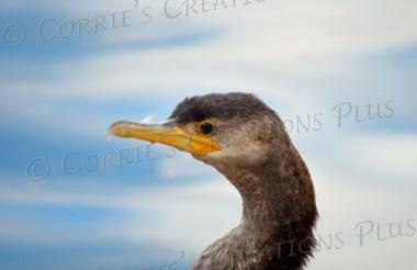 A cormorant at Reid Park in Tucson