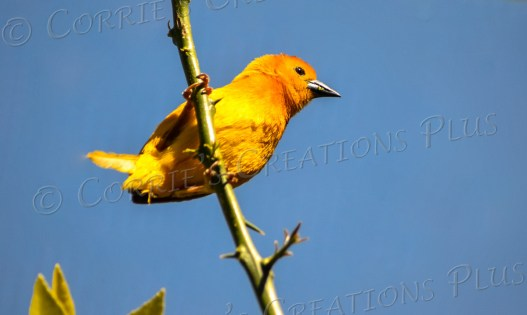 A second photo of this beautiful bird. His yellow/orange colors are gorgeous.