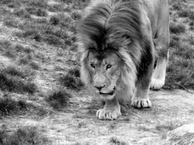 African lion on the prowl