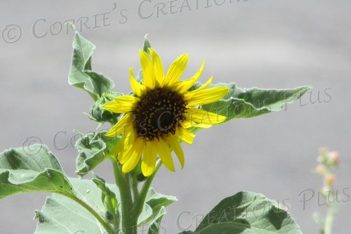 A sunflower adds a beautiful touch to the Tucson landscape.
