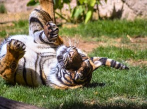 This Malayan tiger was in a playful mood.