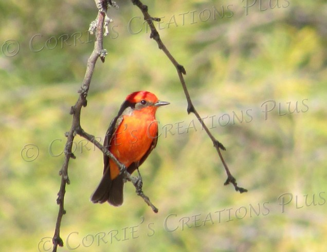 A beautiful vermillion flycatcher graces some lower branches at Udall Park in Tucson.
