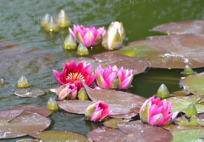 Colorful water lilies at the Sunken Gardens in Lincoln, Nebraska