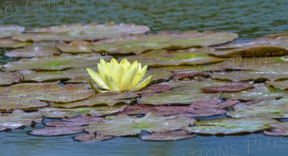 A yellow water lily floats gracefully upon a pond at the Sunken Gardens, Lincoln, Nebraska.