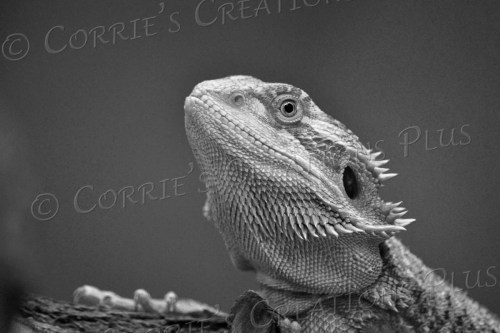 A black-and-white photo of a bearded dragon