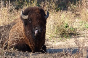 A bison is licking his chops on the Midwestern prairie.