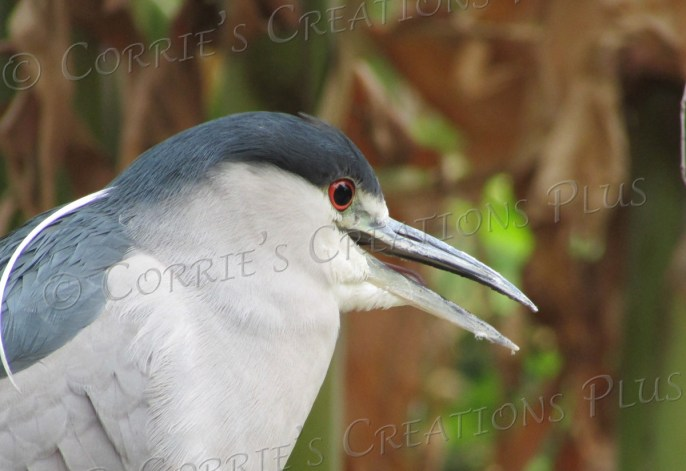 Black-crowned night heron at Reid Park in Tucson