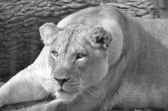 A one-year-old female lion cub