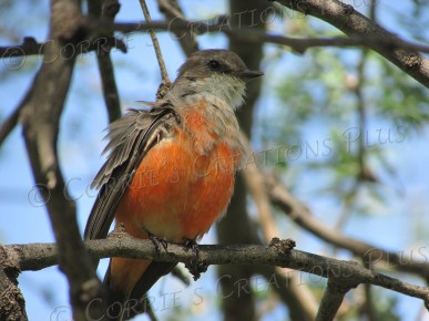 Another photo of the beautiful buff-breasted flycatcher